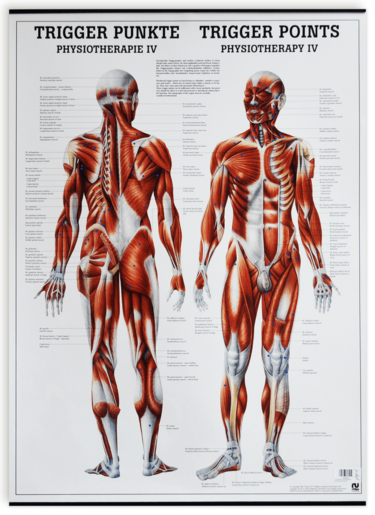 Acupuncture Materiels Educatifs Planches Murales Modeles Planches Anatomiques Diverses Planches Diverses D Anatomie De Muscles De Points Reflexes Etc Planche Anatomique Points Trigger 20x27 50x70cm Anglais